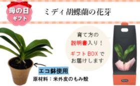 サンクスカード&ミディ胡蝶蘭の花芽(1鉢)