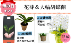 サンクスカード&ミディ胡蝶蘭の花芽(1鉢)&大輪胡蝶蘭3本立27輪以上つぼみ込み(1鉢)