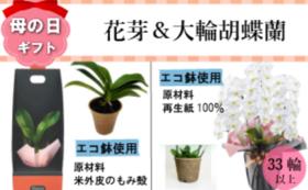 サンクスカード&ミディ胡蝶蘭の花芽(1鉢)&大輪胡蝶蘭3本立33輪以上つぼみ込み(1鉢)