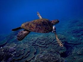 一緒に海を守りたい!海洋ゴミ削減【アオウミガメ】