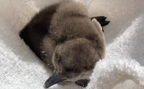 2月1日産まれ 初のうちなんちゅペンギン 命名権