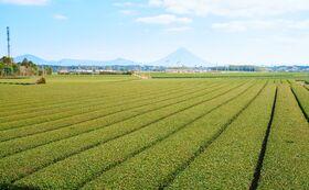 茶畑1列オーナー制度(春摘、夏摘、秋摘の3種類送付)※1年限定