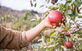 りんごの収穫体験とお土産(りんごジュース15本とCIDER16本)のフルコースセット