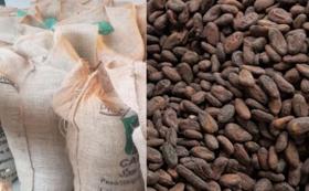 パタネモ村 天然栽培の生カカオ豆500g