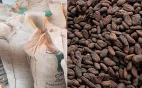 パタネモ村 天然栽培の生カカオ豆5kg
