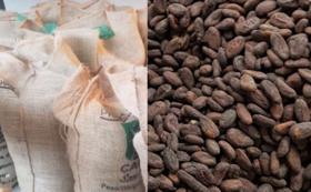 パタネモ村 天然栽培の生カカオ豆20kg