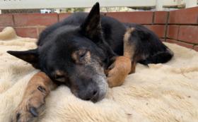 【3千円】スタンダード応援コース:老犬たちの幸せな日々をともに作り出す仲間に!