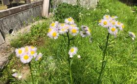 大湫町の植物で作った押し花のしおり