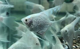 初心者熱帯魚飼育セット【プラチナエンゼルフィッシュ】
