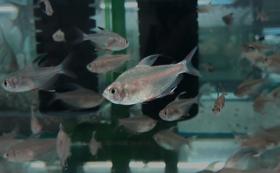 初心者熱帯魚飼育セット【ホワイトフィンロージーテトラ】