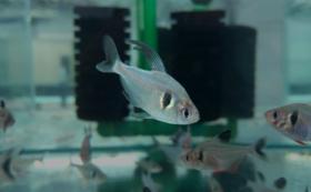 初心者熱帯魚飼育セット【ブラックファントムテトラ】