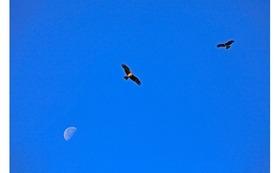 私のオリジナルプリント 沼島(4)    『早朝の鳶』をお送りします。