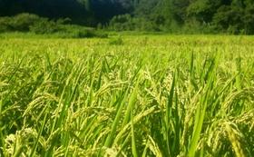 【福井県外の方向け】柿原の新米コシヒカリ5kg