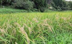【農薬無散布】千葉県産ふさこがね 玄米 10 kg (送料込み)