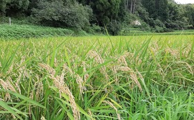 【農薬無散布】千葉県産ふさこがね 白米 30 kg (送料込み)