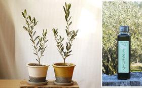 湘南二宮オリーブオイルと平和の象徴オリーブの鉢植え