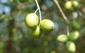 湘南オリーブの聖地・二宮で開催するオリーブの収穫際にご招待!