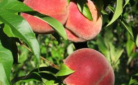 フルーツ王国山梨の桃をお送りします!