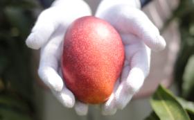 【マンゴー】かんな農園特産品Cセット