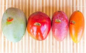 New!!【幻のマンゴーが食べられる!】マンゴー4種セット