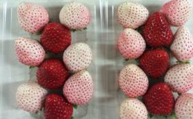 雅いちご毎月1ケース&白イチゴ入りパック&アイスクリーム&シフォンケーキ