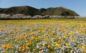 【お気持ちコース】田んぼをつかった花畑の開催を応援!