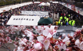 【感謝の気持ちを込めて】興津宿寒桜まつりへご招待・友好の桜の苗木