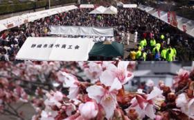 【感謝の気持ちを込めて】興津宿寒桜まつりへご招待・寒桜の苗木