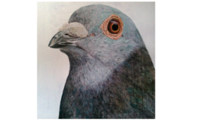 "[910x920mm] pigeon ""lost"""