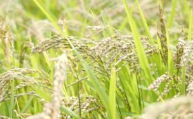 有機米セット(ササニシキ5kg、黒米500g)
