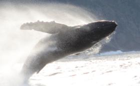 【ザトウクジラの回遊の謎解明への大きな一歩】鯨類学研究室より感謝状をお送りいたします