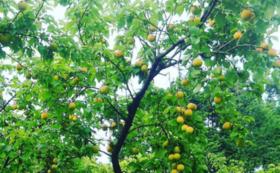 【作って応援!】青梅3キロ★梅農家の美味しい梅酒レシピ付き