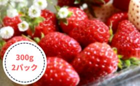 初めて収穫する甘いイチゴセット