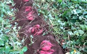 【カップルプラン】お芋掘り体験(2名まで)