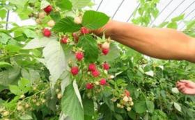 【お試し体験】ラズベリー畑での収穫体験