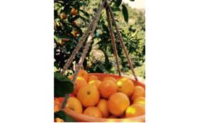【柑橘ソムリエ スペシャルサポーター】あなたはもうほとんど柑橘ソムリエ!