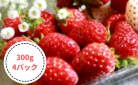 初めて収穫する甘いイチゴお得セット