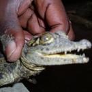 Crocodilekiller