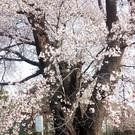 水戸桜川千本桜プロジェクト