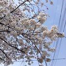 Imai Sakura